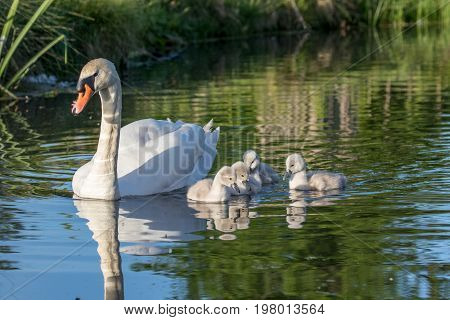 Mute Swan (cygnus Olor) Adult And Cute Fluffy Baby Cygnets, Swimming Together On A Sunny Day
