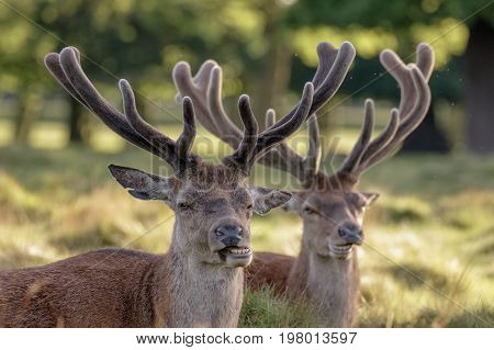 Two Red Deer Stags (cervus Elaphus) Growing Velvet Antlers In Resting In Grassy Parkland In Summer