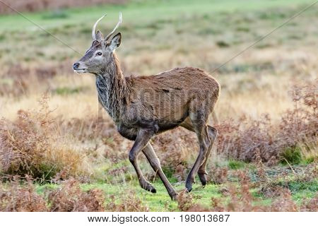 Young male Red Deer (Cervus elaphus) buck or pricket running
