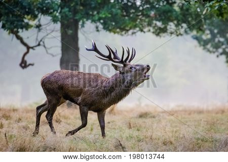 Red Deer (cervus Elaphus) Stag Running And Roaring Calling Or Bugling