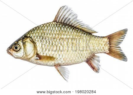 Fish isolated on white background, golden crucian with scales