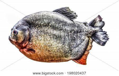 Fish piranha ,  isolated on white background