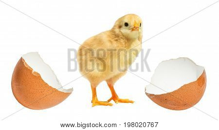 little chicken hatched from an egg isolated