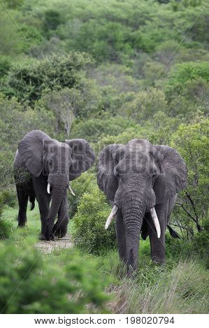 Two African elephant. Adult males with tusks going to the waterhole in the Kruger Park. South Africa to the waterhole in the Kruger Park. South Africa