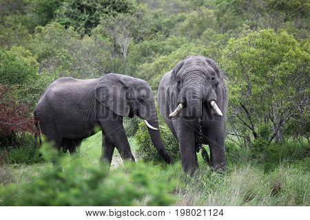 Two African elephant. Adult males with tusks in a waterhole in the Kruger Park. South Africa