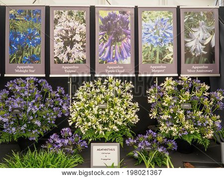 LONDON UK - MAY 25 2017: RHS Chelsea Flower Show 2017. Agapanthus display.