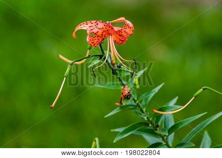 the last tiger lily bloom of the summer