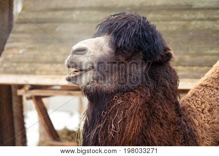 Funny fluffy laughing camel in the zoo close up