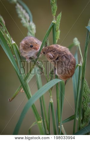 two harvest mice climbing up strands of grass and looking at each other in upright vertical format