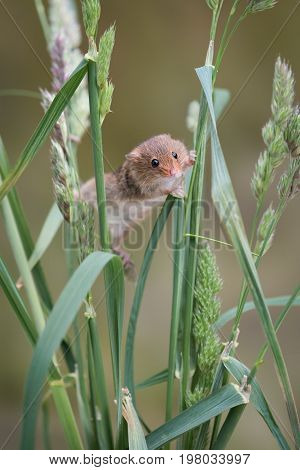 A single solitary harvest mouse climbing up strands of grass and stretching between them upright vertical format