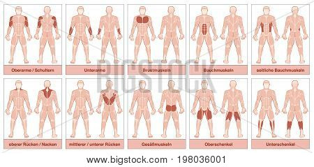 Muscle chart with german names - male body with the largest human muscles, divided into ten labeled cards with names and appropriate highlighted muscle groups - isolated vector illustration on white.