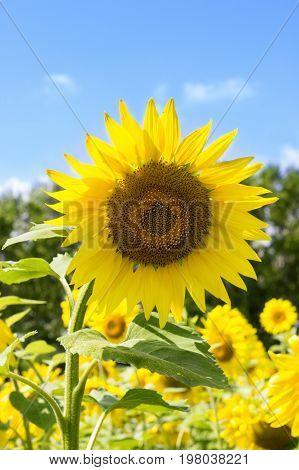 Sunflower. Sunflower flowering. Sunflower oil for skin health and cell regeneration. Russia