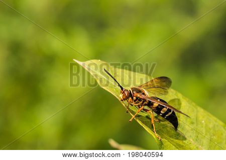 A close up of an Eastern Cicada Killer