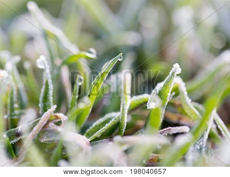 dew on the grass with hoarfrost . A photo