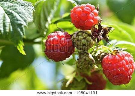 Ripe raspberry in the fruit garden. Closeup of growing organic raspberries. Ripe Raspberry in fruit garden.