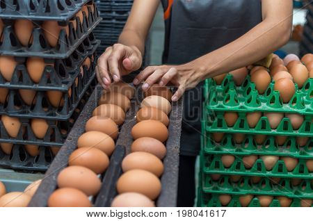 Egg and chicken Farm Machine production line process