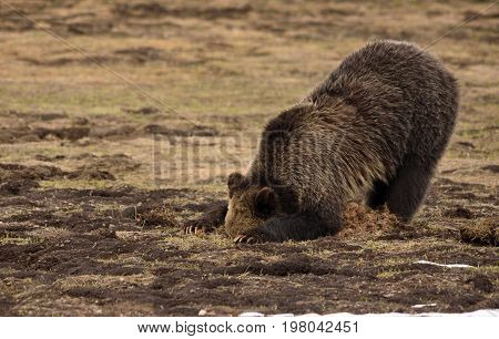 a bear looks into a hole it has dug