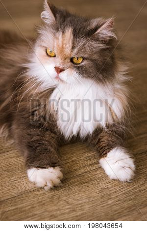 Bushy cat laying on wooden floor. Long-haired family pet with fluffy fur and yellow eyes, close up portrait