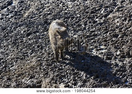 Happy Hour Of Baby Wild Boar On The Mud Floor.