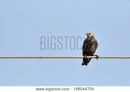 Common starling, also known as European starling bird in black with metallic sheen perching on cable with blue sky