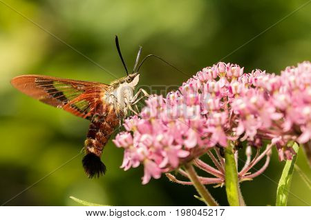 A close up of a Hummingbird Clearwing Moth on a flower.