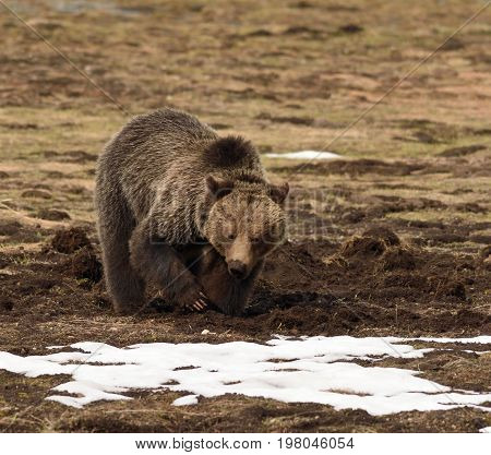 a grizzly bear digs in a meadow