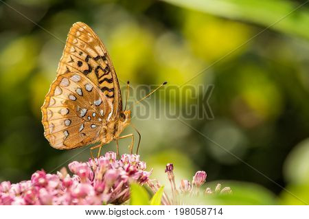 A Great Spangled Fritillary feeding on a flower.