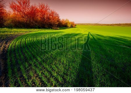 Early wheat field early spring rural landscape