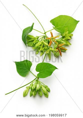 tonkin flower,telosma cordata,night fragrant flower on white background