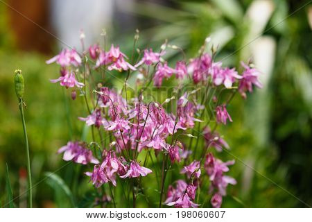 pink Aquilegia or granny's bonnet or columbine on the green field