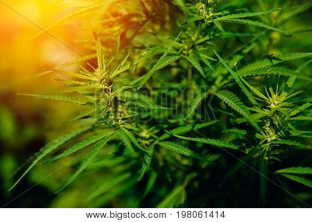 Bush Flowering herb hemp with seeds and flowers with a sun glint on a dark green background. Concept breeding of marijuana, cannabis, legalization.