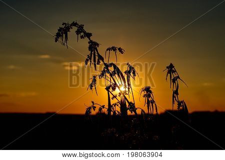 Marijuana. Hemp. Cannabis. Cannabis In The Sunset Sun And On A Blurred Background. Marijuana Bush Fo