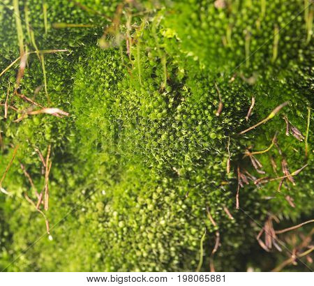 green moss on nature. close-up . A photo