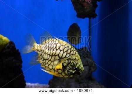 Pineapple Fish
