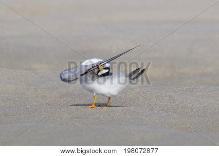 A least tern Stella antillarum preening on the beach