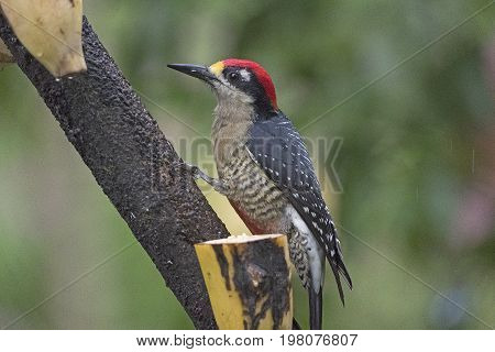 Black Cheeked Woodpecker in a tree in Sarapiqui Costa Rica