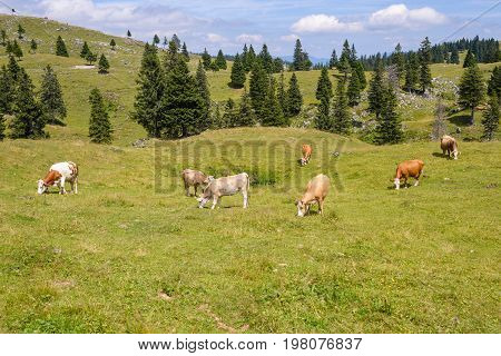 Brown and white Cattle, Livestock grazing on pasture in mountains, European Alps, Velika Planina, Slovenia