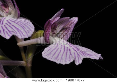 Hybrid Pink Butterfly X Green-winged Orchid