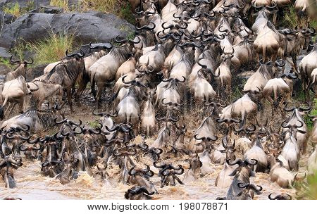 Wildebeest crossing the Mara River in Kenya during the great yearly migration which occurs in July and August. Kenya Eastern Africa
