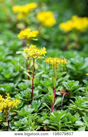 Sedum Acre Plant (stonecrop Or Wall-pepper) In Full Bloom With Yellow Flowers On Garden Ground. Sele