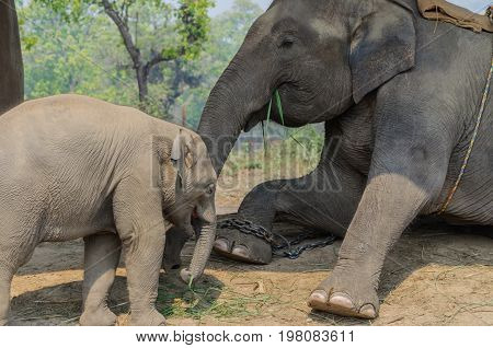 Elephant and baby elephant eating grass. Chitwan National ParkNepal