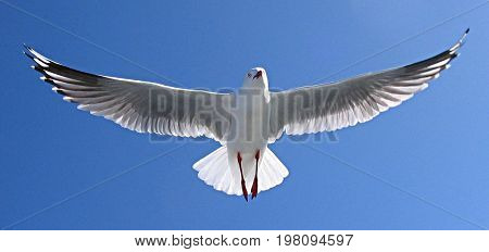 Heavenly white Australian Silver Gull flying overhead in a vivid blue sky.