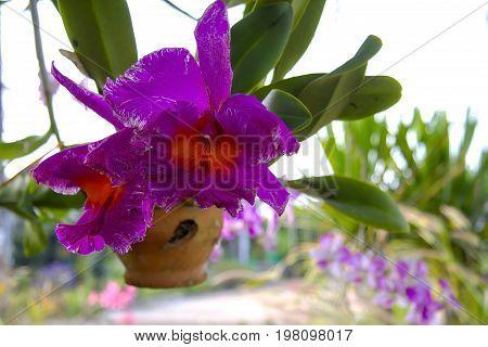 Rhynchostylis retusa big flower orchid and background in Thailand.