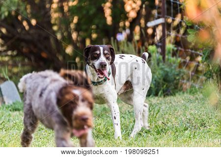 German Pointer Dogs