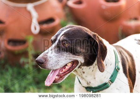 German Shorthaired Pointer Panting