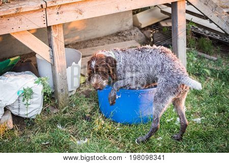 German Wirehaired Pointer In Water Tub