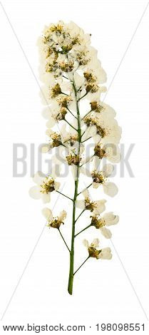 Pressed and dried Flowers brush bird-cherry isolated on white background. For use in scrapbooking floristry (oshibana) or herbarium.