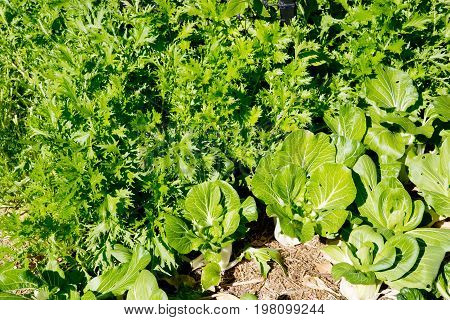 Mizuna And Bok Choy Growing In Vegetable Garden