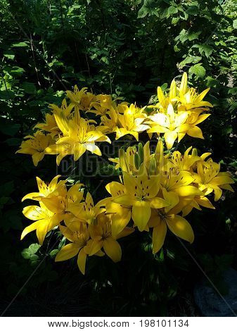 Colorful yellow lillies amidst the shaded green foliage