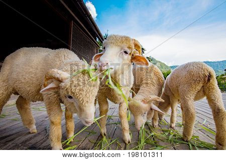 merino sheep eating ruzi grass leaves on wood ground of rural ranch farm with beautiful lighting